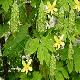Más imágenes de Semillas Karela, Bitter Gourd Mbth-101. 50 Semillas