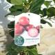 Más imágenes de Fresa Guayaba, Psidium Cattleianum, Cereza Guayaba, Fruta Saludable 110-125 Cm