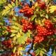 Sorbus Aucuparia (Serbal de los Cazadores) 80/100 Cm.